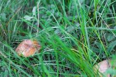 Крупный план гриба в зеленой траве Стоковые Фотографии RF