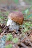 Крупный план гриба и мха плюшки пенни Стоковое фото RF