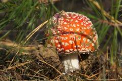 Крупный план гриба пластинчатого гриба мухы Стоковые Изображения RF