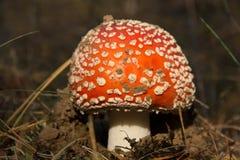 Крупный план гриба пластинчатого гриба мухы Стоковое Изображение