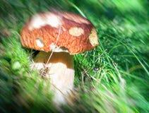 Крупный план гриба porcino на древесинах Стоковые Фотографии RF