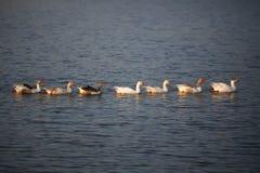 Крупный план гусынь плавая в озере Стоковые Изображения