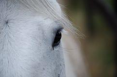 Крупный план глаза белой лошади стоковые изображения