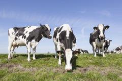 Крупный план глаза и уха красной и белой коровы Стоковое Фото