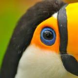 Крупный план глаза toucan птицы Стоковое фото RF