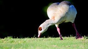Египетская гусына на зеленой траве Стоковое фото RF