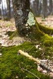 Крупный план дерева с мхом на корнях Стоковое Изображение