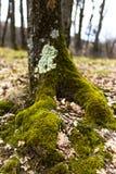 Крупный план дерева с мхом на корнях Стоковые Изображения