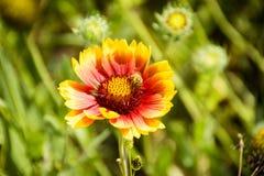 Крупный план желтого и красного цветка с пчелой Стоковое Изображение