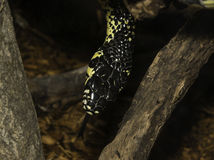Крупный план желтой и черной змейки с разветвленным языком Стоковые Фотографии RF
