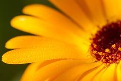 Крупный план желтой маргаритки Стоковая Фотография RF