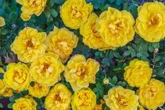 Крупный план желтых роз Стоковые Изображения