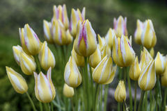 Крупный план желтых тюльпанов с белыми и розовыми нашивками на запачканной предпосылке Стоковые Изображения RF