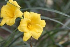 Крупный план желтых цветков лилии дня Стоковые Изображения RF