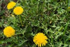 Крупный план 4 желтых цветков одуванчика Стоковые Фото