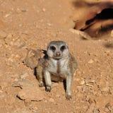 Крупный план животного suricate Meerkat Стоковые Фотографии RF