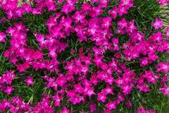 Крупный план живых розовых цветений Стоковые Изображения