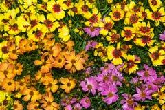 Крупный план живых цветений bipinnatus космоса Стоковая Фотография RF
