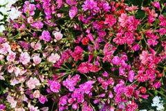 Крупный план живых цветений lewisia Стоковые Фотографии RF