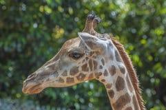 Крупный план жирафа Стоковые Изображения