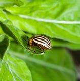 Крупный план жука Колорадо Стоковое фото RF