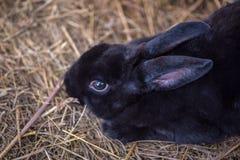 Крупный план зайчика черноты младенца кладя на кровать соломы Стоковое фото RF