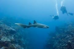 Крупный план заплывания акулы медсестры над коралловым рифом в переулке Белизе акулы с водолазами близрасположенными. Стоковые Фото