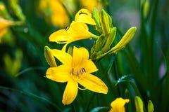 Крупный план зацветая желтых цветков лилии Стоковые Изображения RF