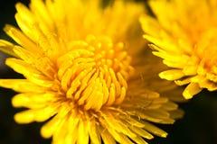 Крупный план 2 зацветая желтых цветков одуванчика Стоковое Изображение