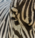 Зебра зверинца Стоковые Фото