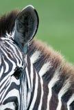 Крупный план зебры, Танзании, Африки Стоковое Изображение RF