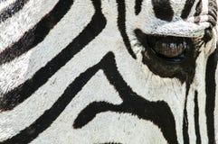 Крупный план зебры, Танзании, Африки Стоковое Изображение
