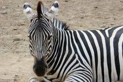 Крупный план зебры Стоковые Изображения RF