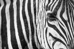 Крупный план зебры Стоковые Фото