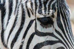 Крупный план зебры Стоковое фото RF