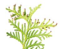 Крупный план зеленой ветви arborvitae или occidentalis туи при мужской конус изолированный на белой предпосылке Стоковая Фотография