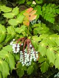 Крупный план зеленых спиковых листьев и голубых ягод Стоковая Фотография RF