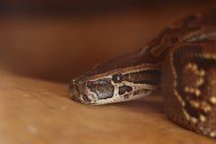 Крупный план змейки горжетки питона Стоковые Изображения