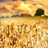 Крупный план золотых ушей овса Стоковая Фотография