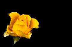 крупный план изолированной розы желтого цвета с падениями Стоковое фото RF