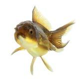 Крупный план изолированной рыбки Стоковое Изображение