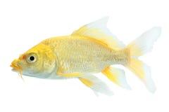 Крупный план изолированной рыбки Стоковое Изображение RF