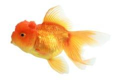 Крупный план изолированной рыбки Стоковые Изображения RF