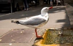 Крупный план иссушанной чайки выпивая от искусственного фонтана Стоковое Изображение