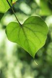 Крупный план лист в форме сердца Стоковая Фотография RF