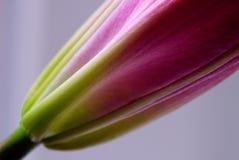 Крупный план лилии Стоковая Фотография