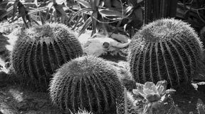 Крупный план кактусов бочонка Стоковое Изображение RF