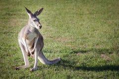 Крупный план кенгуру Стоковое Изображение RF