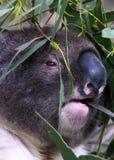 Крупный план коалы стоковая фотография