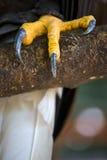 Крупный план когти седоволасого американского белоголового орлана стоковые изображения